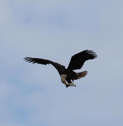 Bayou Segnette Eagle